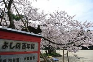 DSC_5385百年桜