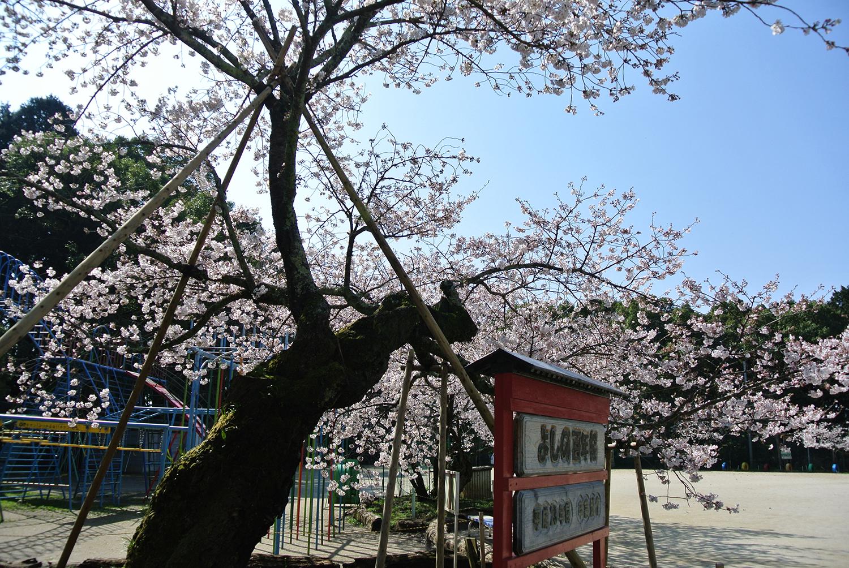 DSC_3775百年桜