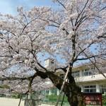 DSC_5395百年桜